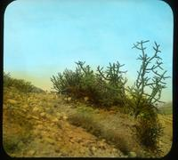 Thumbnail for Cacti nearby. 1908: A46