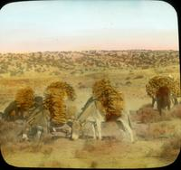 Thumbnail for Burros loaded with wood for Hopi. Near Little Colorado River (II): B87