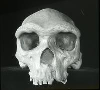 Thumbnail for Homo rhodesiensis (front view): E25
