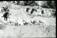 Thumbnail for Navajo Reservation. Sheep Herder: G80
